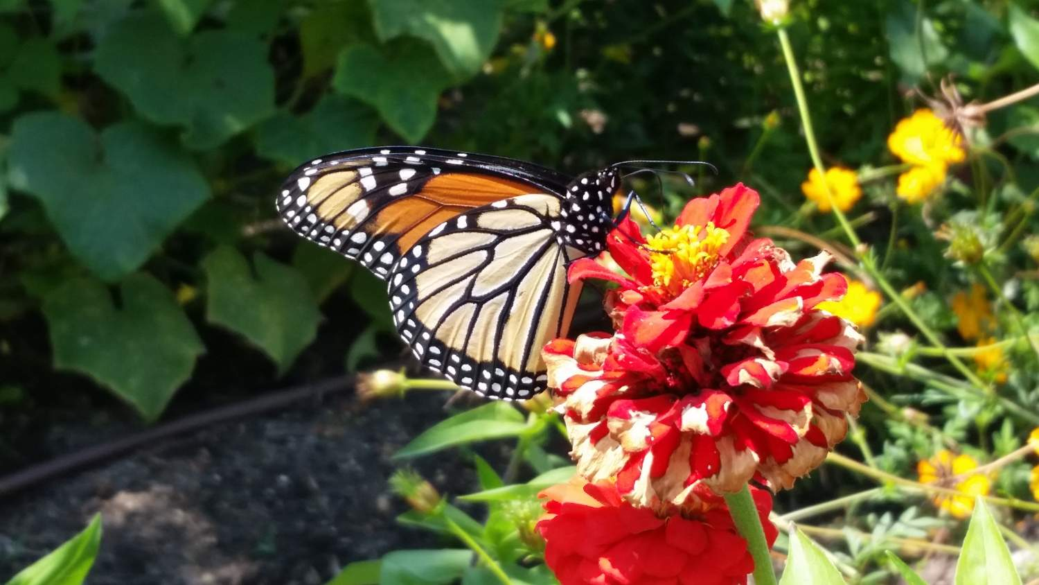 Monarch Butterfly submitted to Project Noah