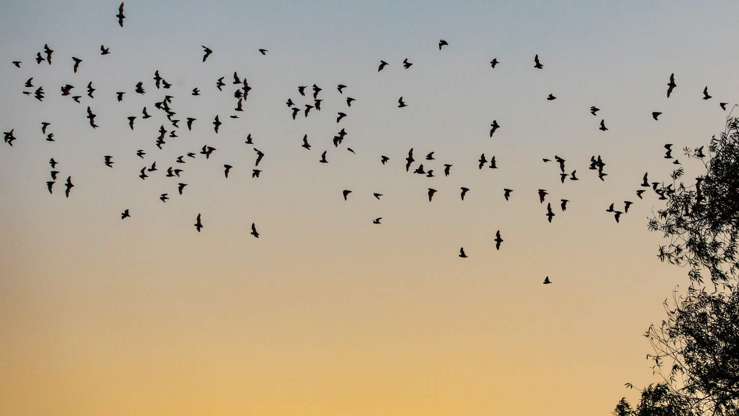 bats flying from a cave in YOLO Bypass Wildlife Area California