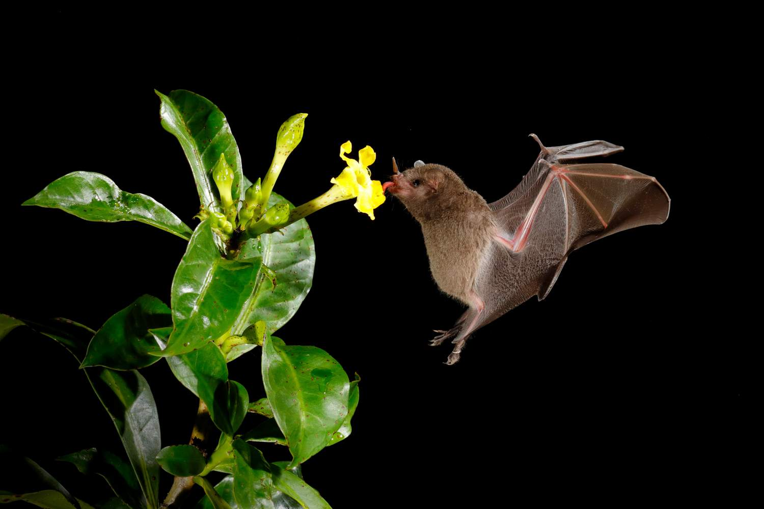 Pallas's long-tongued bat eating from flower in the night