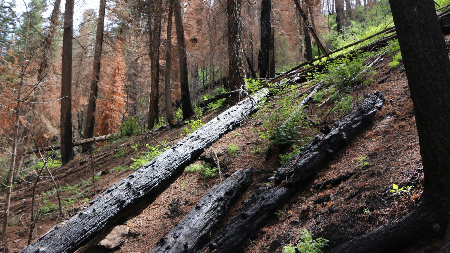 Scorched trees in southwestern Colorado