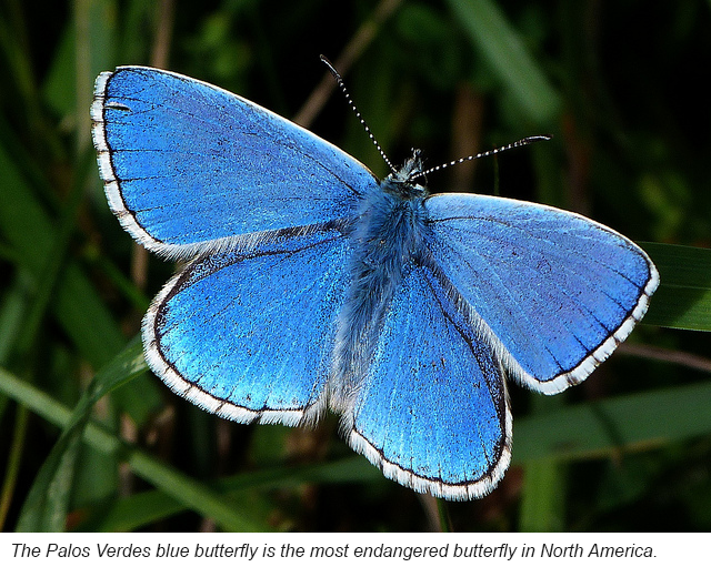The Palos Verdes blue butterfly is the most endangered butterfly in North America.