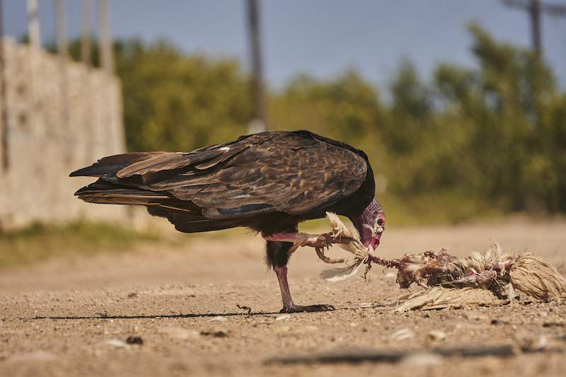 California Condor eating the carcass of an animal in the road