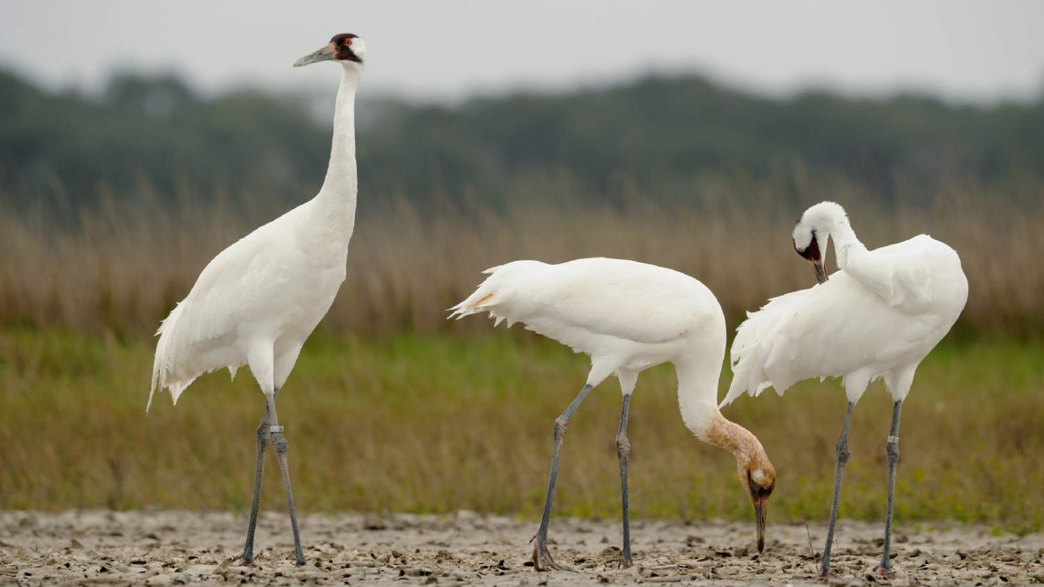 A whooping crane (Grus americana) family in their wintering grounds at Aransas National Wildlife Refuge in Texas.