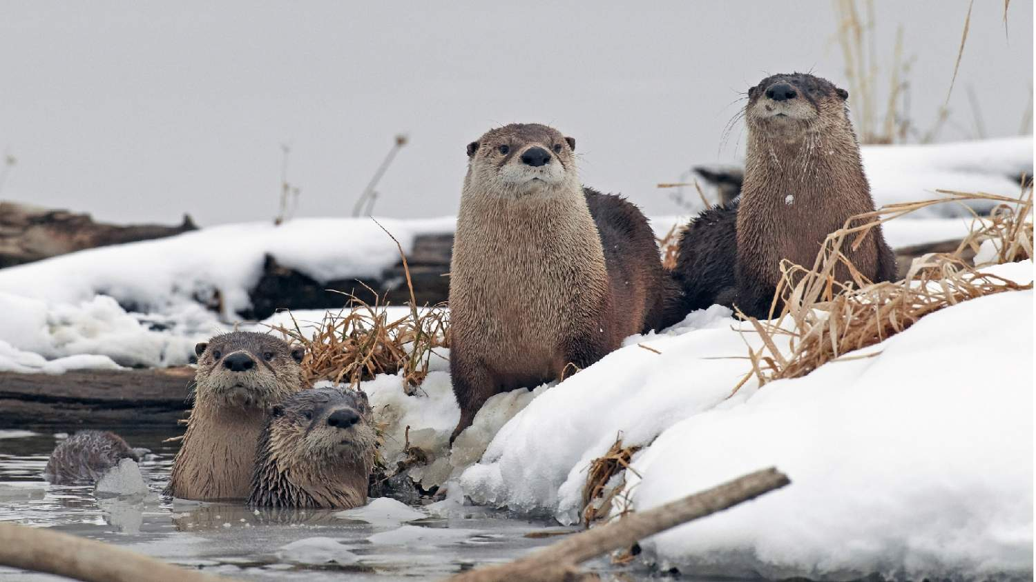 Four river otters on a snowy riverbank