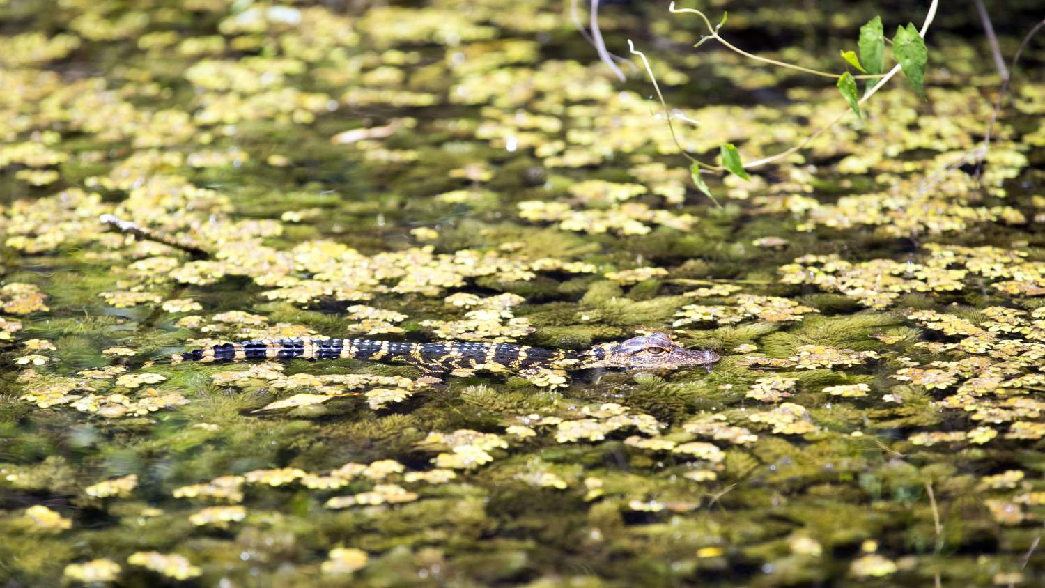 Young alligator swimming in the Everglades, Florida