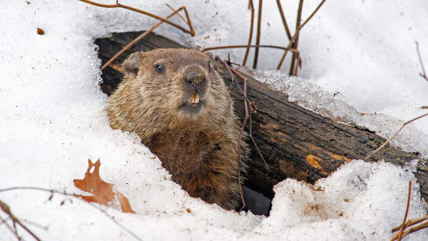 Groundhog peeking out of its den