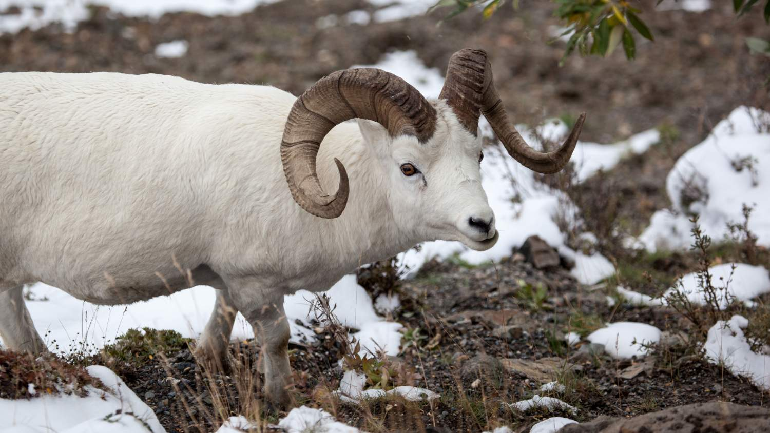 Dall sheep ram (Ovis dalli) in Denali National Park, Alaska