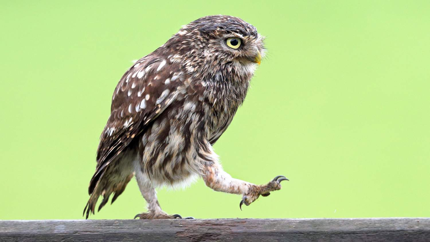 Burrowing owl strutting on a branch