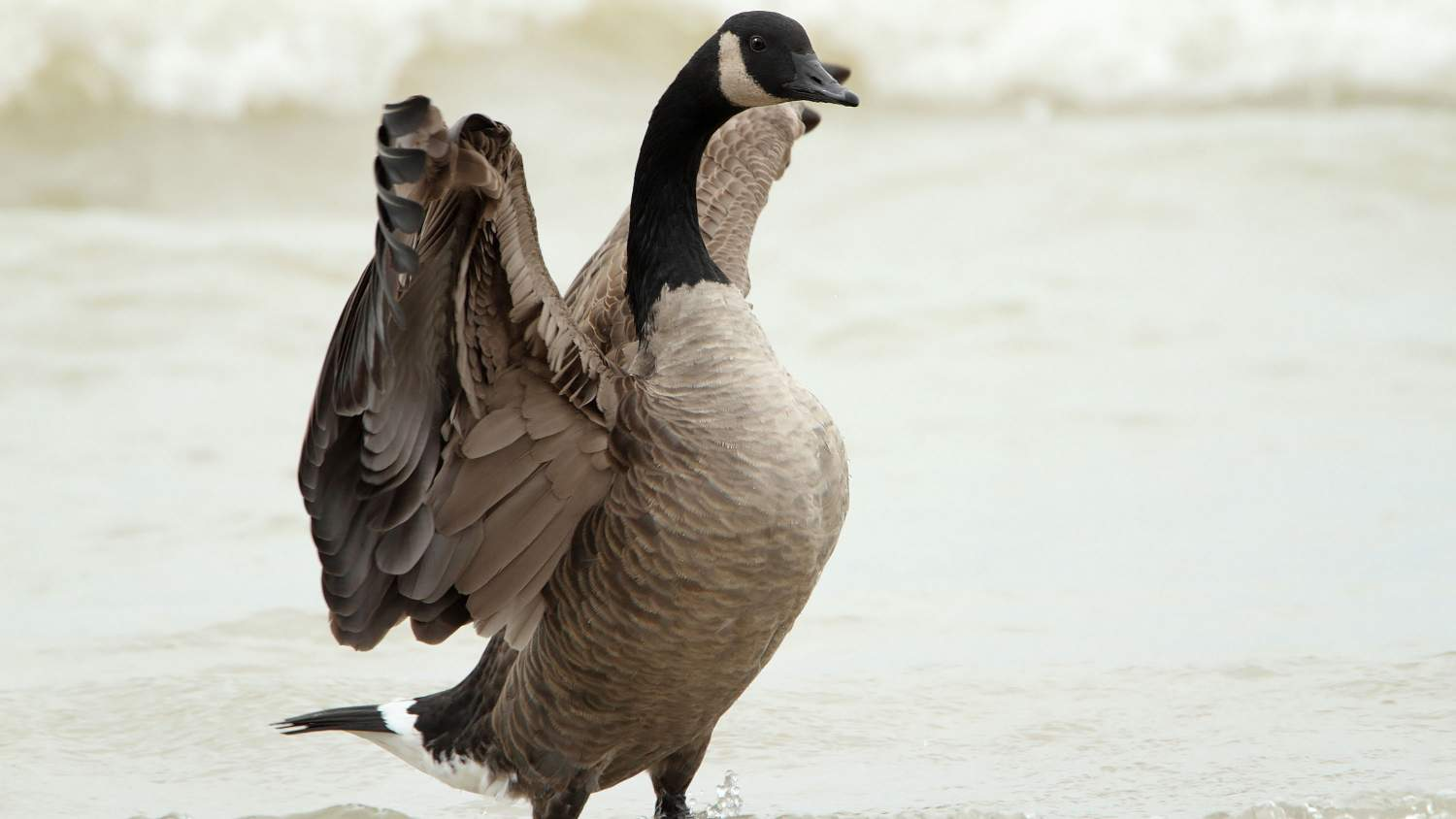 Canadian goose with outstretched wings