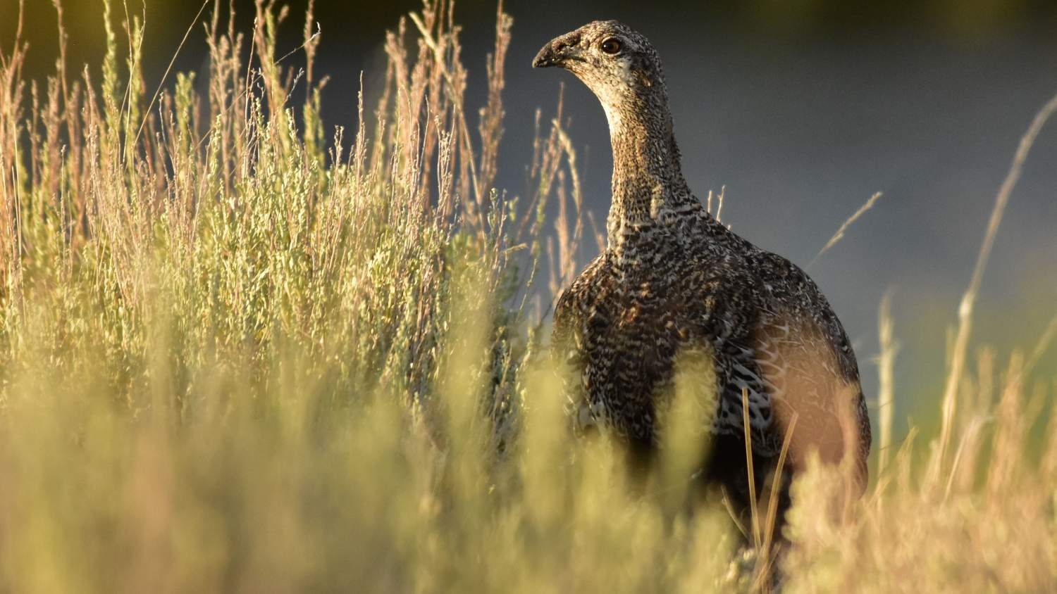 Female greater sage-grouse