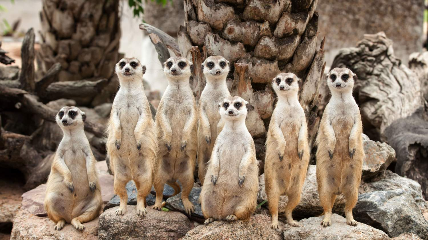 Family portrait of meerkats