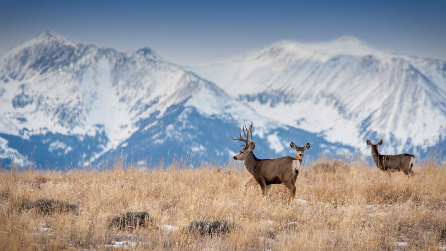 Deer among mountain snowpack