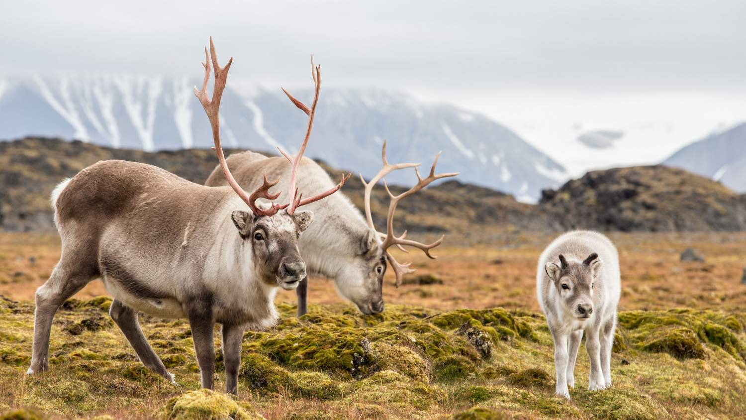 Family of reindeer in the arctic