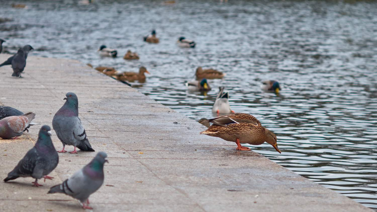 Pigeons and ducks at a river bank