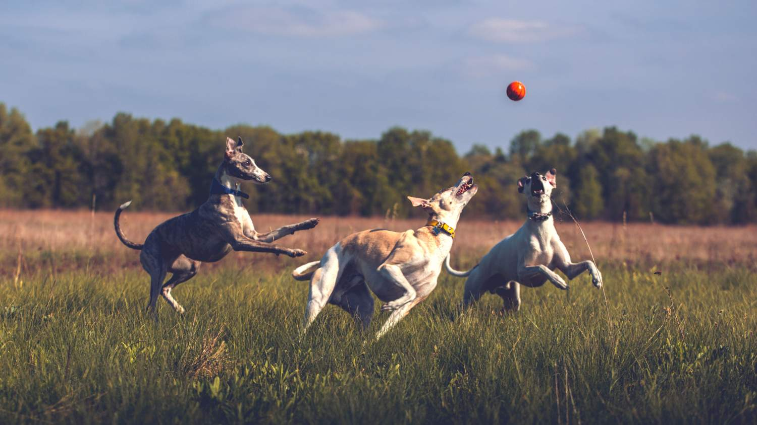 Whippets playing with a ball