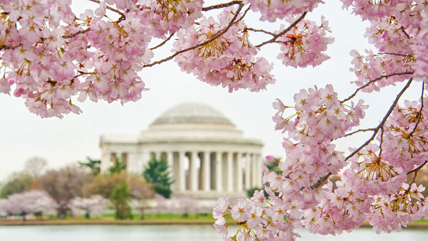 Cherry blossoms blooming near the Jefferson Memorial