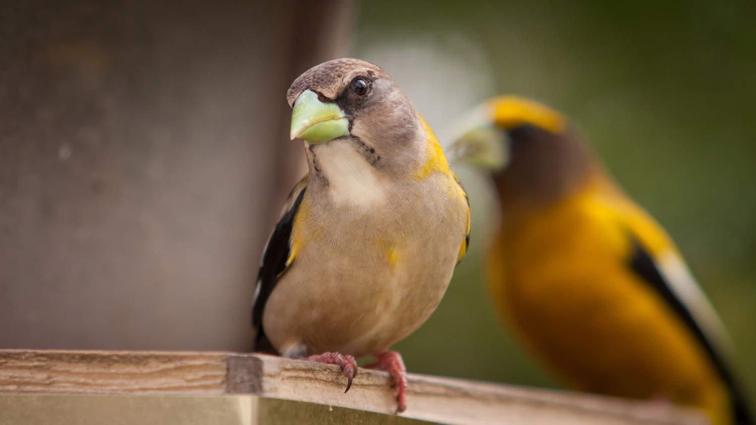 Perched evening grosbeak