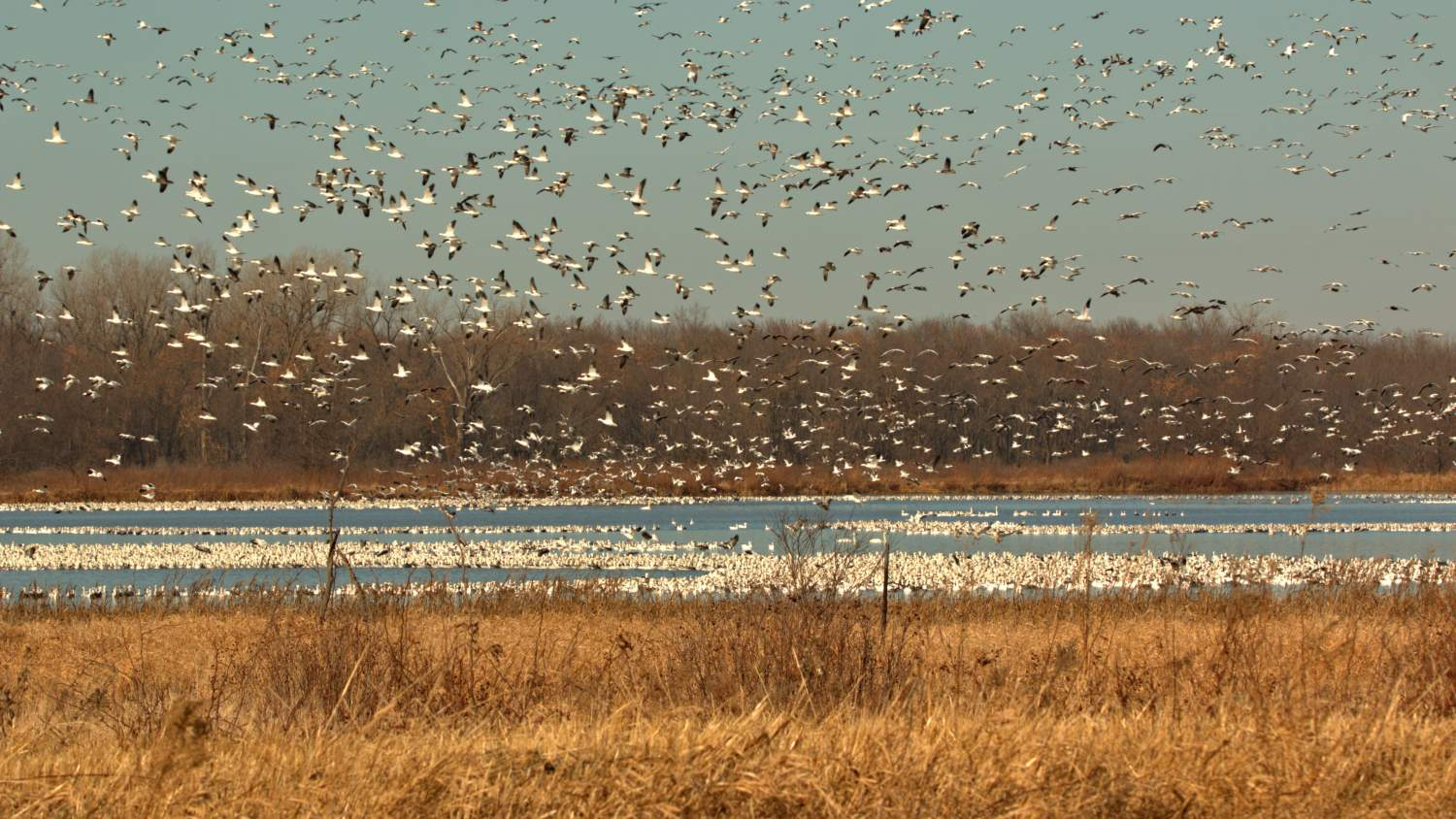 Birds flying in the winter at a marsh