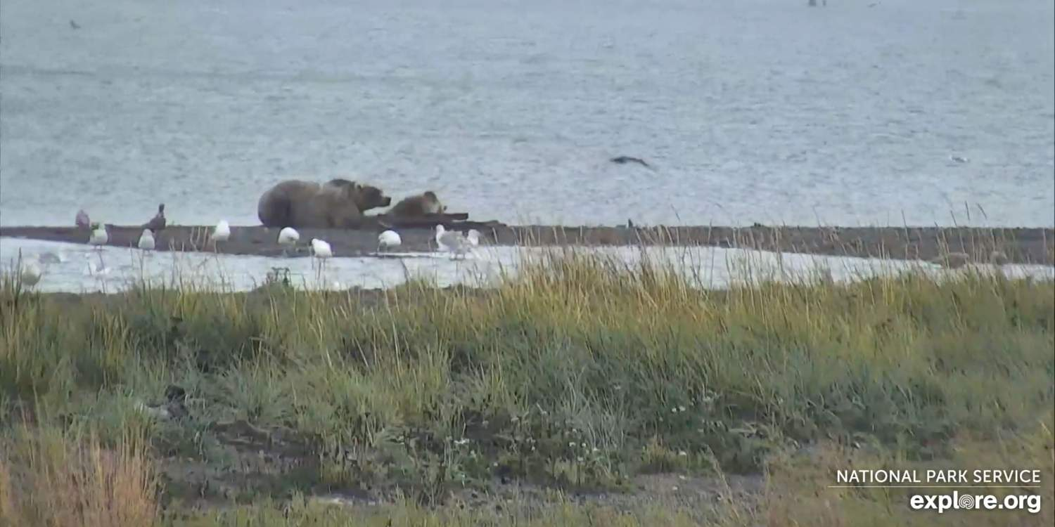 Bears lounging at the river