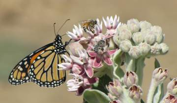 A monarch butterfly, a honey bee and an alfalfa leafcutter bee gather nectar from a milkweed.