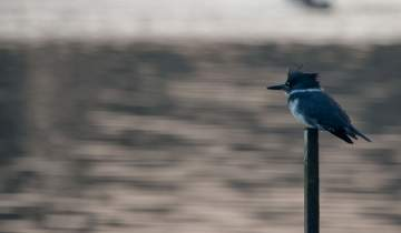 Belted kingfisher overlooks the water