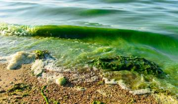 Toxic algae is closing beaches