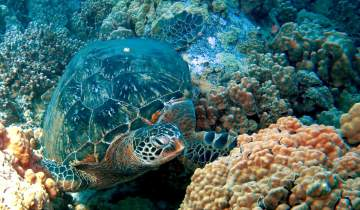 Turtle swimming among coral