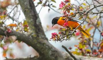 Baltimore oriole perched on a branch with blooming spring flowers