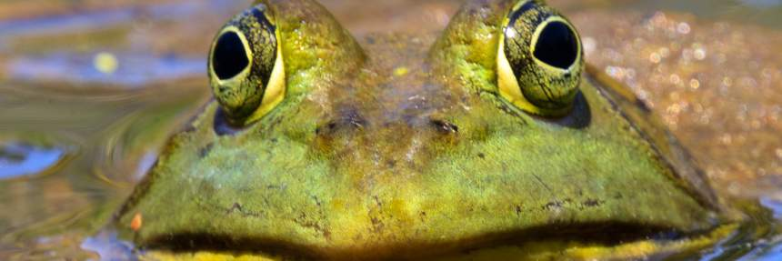 American Bullfrog coming out of water