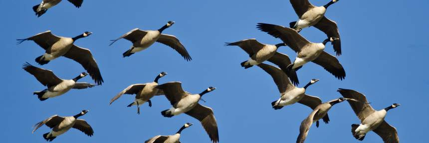 animal migration geese