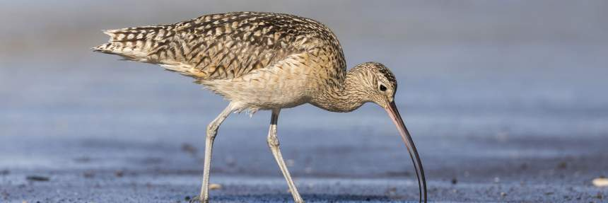 Long-billed Curlew foraging in a river estuary