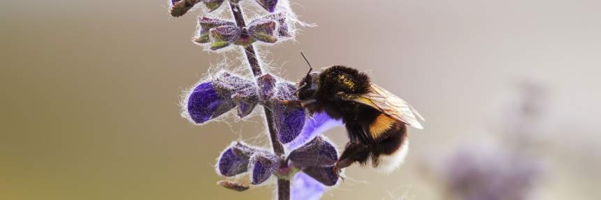 Bumblebee on a purple flower