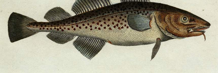 Illustration of Atlantic Cod