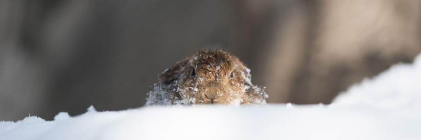 Groundhog in snow - animals that predict the weather