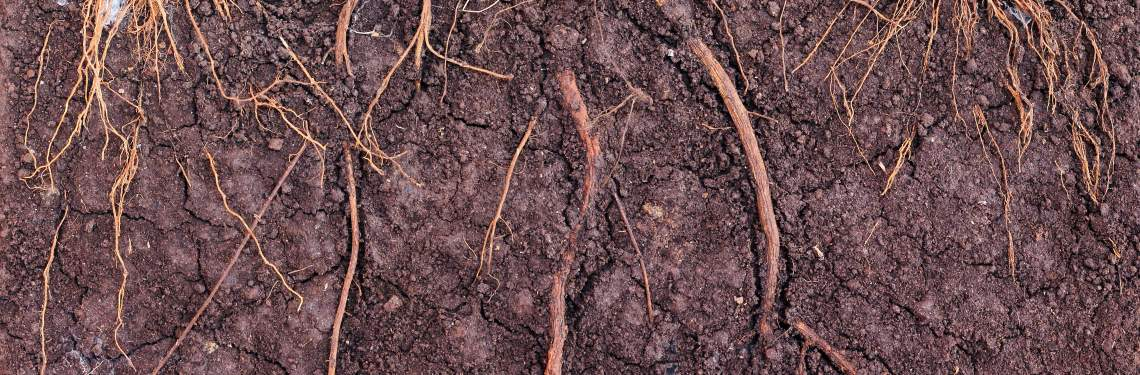 Cross-section of roots within soil layers