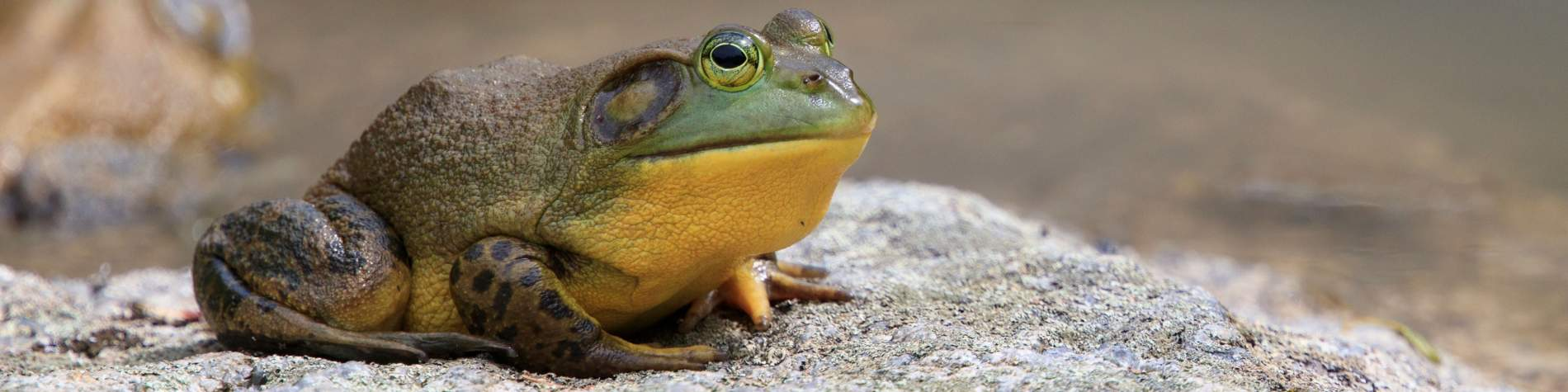 Bullfrog on land