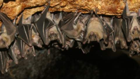 bats hanging from roof of cave