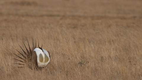 Sage grouse in a field